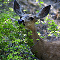 Deer Having Lunch by Ben Upham III