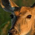 Deer Head Shot by Louis Dallara
