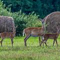 Deer In A Hay Field by Paul Freidlund