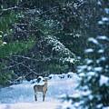 Deer In A Snowy Glade by Diane Diederich