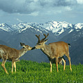 Ma-181-deer In Love  by Ed  Cooper Photography