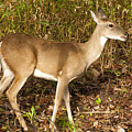 Deer In Morning Ligh by Katherine Worley