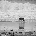 Deer In Ocean Black And White by Connie Cooper-Edwards