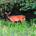 Deer In Overhang Of Trees by David Arment
