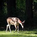 Deer In Shadows by Joanne Rungaitis