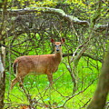 Deer In Shanendoah Mountains by Tammy Bullard