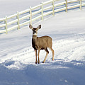 Deer In Snow Covered Road by Travers Morgan