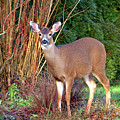 Deer In The Garden by Sharon Talson