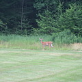 Deer In The Midst by Barbara S Nickerson