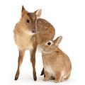 Deer Little Bunny by Warren Photographic