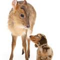 Deer Little Sausage by Warren Photographic