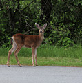 Deer On Road by Roger Patterson