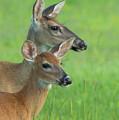 Deer Portrait by Georgia Wilson