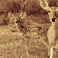 Deer Sepia V3 by Douglas Barnard