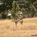 Deer Tails by Wendy Fox