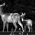 Deer Tracks by Jenny Gandert