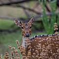 Deer V5 by Douglas Barnard