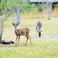 Deer18 by Jeff Downs