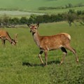 Deers On A Hill Pasture. by Elena Perelman