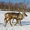 Deers Running On Snow by Irina Afonskaya