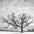 Delaware Park Winter Oak by Chris Bordeleau