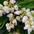 Delicate Blooms by Tiffany Serijna