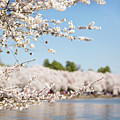 Delicate Blossoms Over The Tidal Basin by Karen Jorstad