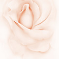 Delicate Peach Rose Flower by Jennie Marie Schell