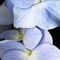 Delicate Petals by Deborah J Humphries