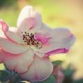 Delicate Petals by Terry Davis