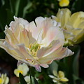 Delicate Pink Tulip 2 by Constance Woods