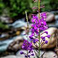 Delicate Purple by Erin Schwartzkopf