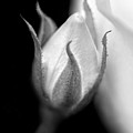 Delicate Rose Bud Black And White  by Jennie Marie Schell