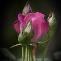 Delicate Rose With Buds by Michele A Loftus
