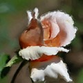 Delicate Rosebud by Smilin Eyes  Treasures