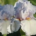 Delicate White Iris by Rebecca Overton