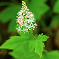 Delicate Wildflower Georgia Mountains by Lawrence S Richardson Jr