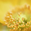 Delicate Yellow Poppy by Jeff Folger