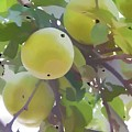 Delicious Yellow Apple In Summer by Jeelan Clark