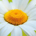 Delightful Daisy by Frozen in Time Fine Art Photography