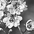 Delphinium Black And White by Marcia Colelli