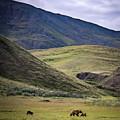 Denali Grizzly Family by Travis Elder