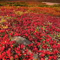 Denali National Park Fall Colors by Kevin McNeal
