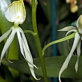 Dendrobium Orchid by Kenneth Albin
