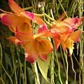 Dendrobium Orchids by Rosalie Scanlon