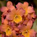 Dendrobium Oriental Smile by Terri Winkler