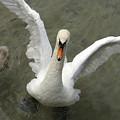 Denmark, Copenhagen Swan Flaps Her Wing by Keenpress