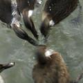 Denmark Group Of Ducks Ducking by Keenpress