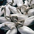 Denmark Swans Gathered On A Lake by Keenpress
