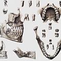 Dental Anatomy by Mehau Kulyk
